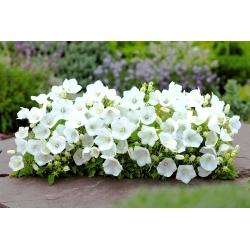 Dzwonek karpacki biały - 6500 nasion