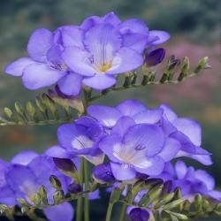 Frezja pojedyncza o niebieskich kwiatach - Blue - 10 cebulek