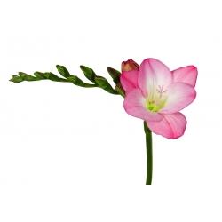 Frezja pojedyncza o kwiatach różowych - 10 cebulek
