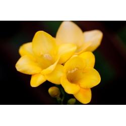 Frezja pojedyncza o kwiatach żółtych - Yellow  - 10 cebulek