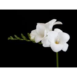 Frezja pojedyncza o kwiatach białych - White - 10 cebulek