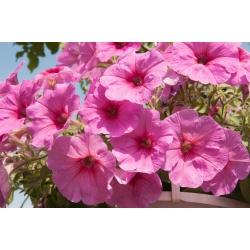Petunia ogrodowa - Kaskada różowa - 160 nasion