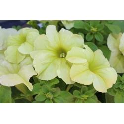 Petunia ogrodowa - Kaskada żółta - 160 nasion