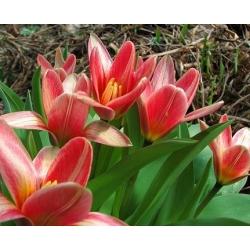 Tulipan Fashion - 5 cebulek