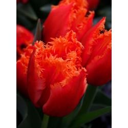 Tulipan Noranda - 5 cebulek