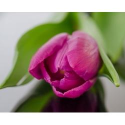 Tulipan różowy Rose - 5 cebulek