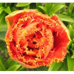 Tulipan strzępiasty Sensual Touch - 5 cebulek