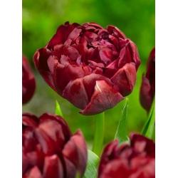 Tulipan pełny Uncle Tom - opak. 5 cebulek