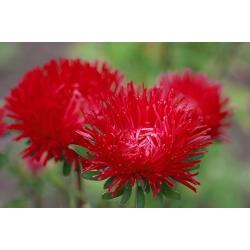 Aster chiński igiełkowy czerwony - 500 nasion