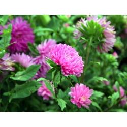 Aster chiński peoniowy różowy - 500 nasion