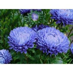 Aster chiński peoniowy niebieski - 500 nasion