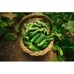 BIO Ogórek krzaczasty Dar - Certyfikowane nasiona ekologiczne - 110 nasion