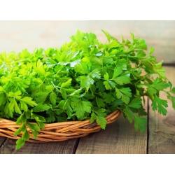 BIO Pietruszka naciowa Commun 2 - Certyfikowane nasiona ekologiczne - 3000 nasion