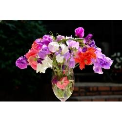 Domowy ogródek - Groszek pachnący Knee-Hi - do uprawy w domu i na balkonie - 60 nasion