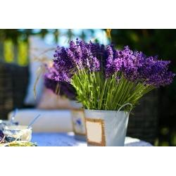 Domowy ogródek - Lawenda wąskolistna Munstead Strain - do uprawy w domu i na balkonie - 200 nasion