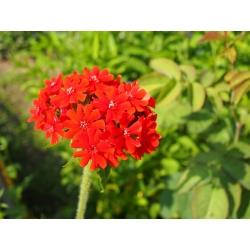 Firletka chalcedońska - mieszanka kolorów - 460 nasion
