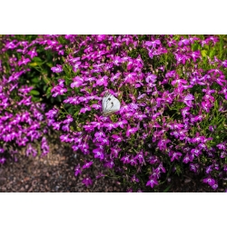 Lobelia fioletowa Mitternachtsblau - 6400 nasion