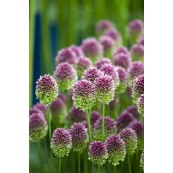 Czosnek główkowaty - Allium sphaerocephalon - 20 szt.