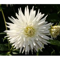 Dalia kaktusowa biała - Dahlia cactus White