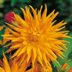Dalia kaktusowa pomarańczowa - Dahlia cactus Orange