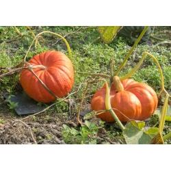 Dynia olbrzymia Rouge vif d'Etampes - duże, spłaszczone, żebrowane owoce - 9 nasion