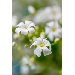 Gipsówka wytworna biała - 2800 nasion