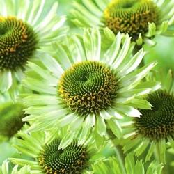 Jeżówka zielona - Green Jewel - 1 szt.
