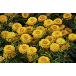 Kocanka ogrodowa, Nieśmiertelnik żółta - 1250 nasion