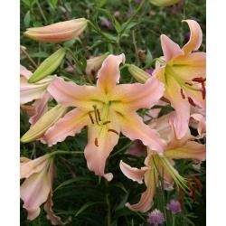 Lilia drzewiasta - Elusive - cebula XL