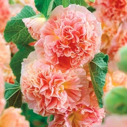 Malwa - Peaches and Dreams - 1 szt.