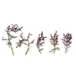 Mizuna czerwona - 1500 nasion