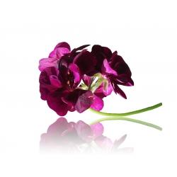 Pelargonia rabatowa fioletowa - 6 nasion