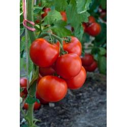 Pomidor Jowisz - pod osłony - nasiona odmian profesjonalnych dla każdego - 30 nasion