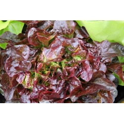 Sałata masłowa czerwona Sahim - 850 nasion