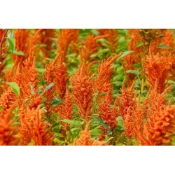 Szarłat Magic Cascade - mieszanka kolorowych gatunków - 700 nasion