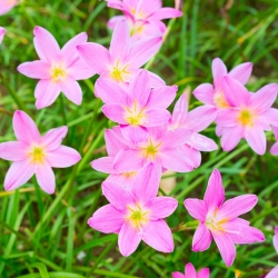 Zefirant różowy - 10 cebulek