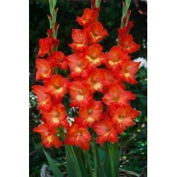 Gladiolus - Mieczyk Nikita - 5 cebulek
