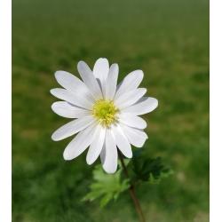 Zawilec grecki - White Splendour - 8 szt.