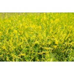 Nostrzyk żółty dwuletni - 1 kg - 560000 nasion