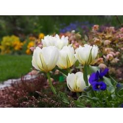 Tulipan Exotic Emperor - opak. 5 szt.