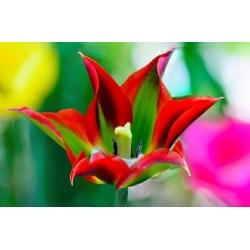Tulipan Eye Catcher - opak. 5 szt.