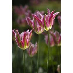 Tulipan Florosa - opak. 5 szt.