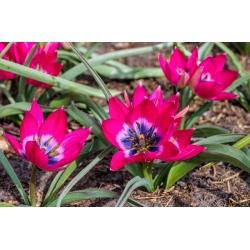 Tulipan Little Beauty - opak. 5 szt.