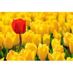 Tulipan Mini Star - opak. 5 szt.