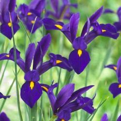 Irys holenderski Purple Sensation - 10 cebulek