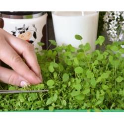 Microgreens - Lucerna siewna - młode listki o unikalnym smaku