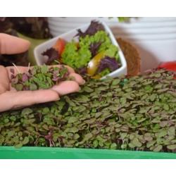 Microgreens - Pachnotka zwyczajna fioletowa - młode listki o unikalnym smaku - 3000 nasion
