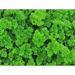 Pietruszka naciowa – mieszanka odmian – nasiona otoczkowane - 300 nasion