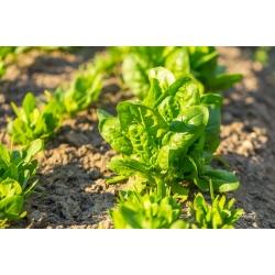 BIO Szpinak Winterreuzen - Certyfikowane nasiona ekologiczne - 800 nasion