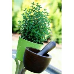 Domowy ogródek - Oregano - do uprawy w domu i na balkonie